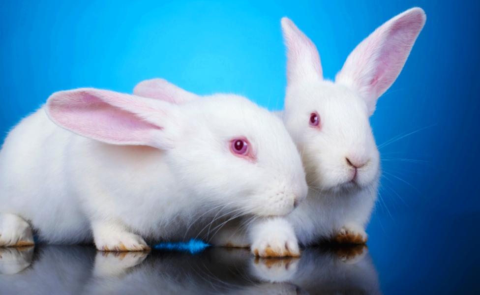 Conejos de laboratorio